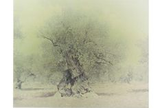 Ori Gersht, Olive 16, 2004. C-print mounted on aluminum