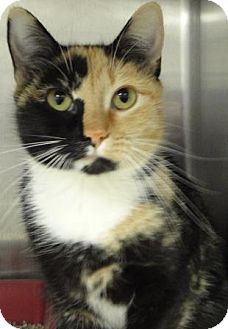 URGENT! Act quickly to adopt Callie. Pets at this Shelter may be held for only a short time. Jacksonville, AR - Calico or Dilute Calico. Meet Callie a Female Cat for Adoption.