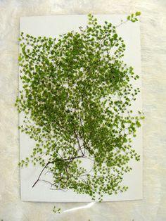 メール便、押し花パック、押し花素材、飛騨高山、高山植物、手作り、先生、アジアンタム、葉、ミクロ、緑