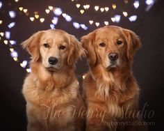 Golden retrievers equal love