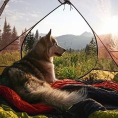 """bloogue: """" boredpanda: """"  I Take My Wolfdog On Epic Adventures Because I Hate To See Dogs Locked Away """" OH MY GOD crownmalone LOOK """""""