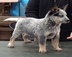Australian Cattle Dog Breed Pictures and Information