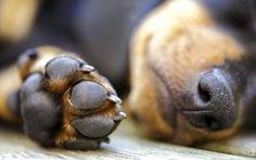 Como manipular um cachorro com dor? Muitas pessoas, quando vêem cães precisando de ajuda na rua, sentem vontade de ajudar dando uma assistência devida para o pet. No entanto, muitos têm medo de aproximar-se do animal, temendo ser mordido. Os cães, assim como as outras espécies animais, quando possuem quaisquer desconfortos, tanto físicos quanto psicológicos, tendem a responder à aproximação de forma agressiva. É importante enfatizar que isso não é uma regra a ser seguida. Alguns animais não…