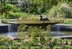 Duck stretching his leg on the fountain at RHS Wisley.