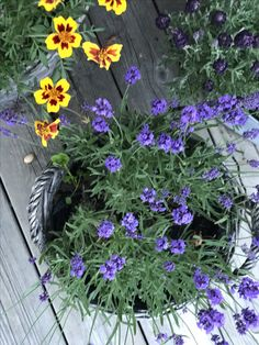 Lavendel & french marigold from Seed 2017