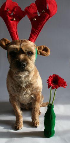 Otto the dog waiting for santa