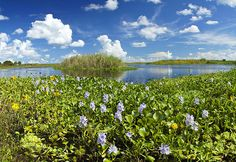 Water Hyacinth in bloom by the St. Johns river in Central Florida.