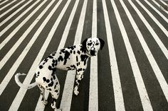 dog, dalmatian, and stripes image Baby Dogs, Dogs And Puppies, Doggies, Corgi Puppies, Animal Photography, Street Photography, Equine Photography, Mundo Animal, Op Art