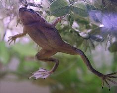 African Dwarf Frog – The Care, Feeding and Breeding of African Dwarf Frogs