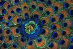 Omg!! So obsessed with peacocks right now...