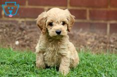 Oats | Cockapoo Puppy For Sale | Keystone Puppies