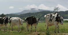 cows in Tillamook, Oregon