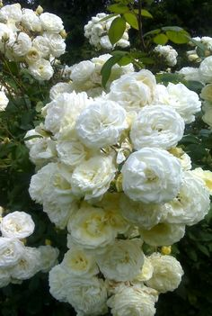 Rambling white roses are an essential addition to a whait garden....these are spectacular.