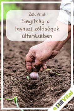 Érdemes tavasszal elültetni a tavaszi zöldségeket, hogy a vitaminokban gazdag növényeket a hidegebb hónapokban is élvezhesd. Ha most áprilisban elkezded, akkor nyárra már bőségben lehet részed. Hagyma  Ahol kellően nedves a talaj és a napsütés is sok, ott magról is lehet termeszteni hagymát. A magokat körülbelül 2,5 cm-re, 5 cm széles sávban kell elvetni. A vetésmélységnek 0,5-1,2 cm-nek kell lennie a sorköznek pedig 3 cm-nek. A különböző fajták 90-120 nap között érnek be. How To Dry Basil, Herbs, Blog, Herb, Blogging, Medicinal Plants