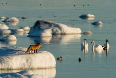Fox and water fowls. | Beautiful Finland photo by Jouko Lunden....