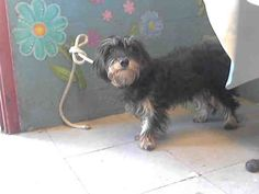 MAGGIE-ID#A4747256  My name is Maggie and I am described as a spayed female, black and tan Terrier mix  The shelter thinks I am about 1 year and 6 months old.  I have been at the shelter since Aug 19, 2014. Back For more information about this animal, call: Los Angeles County Animal Control - Lancasterat(661) 940-4191 Ask for information about animal ID number A4747256