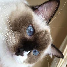 #愛猫#猫#子猫#ラグドール#家族#ペット#可愛い#らぶ#青目#モフモフ#笑顔#🐱#🐾#❤️ #ragdoll#cat#kitten#family#pet#cute#kawaii#lovely#playful#fluffy#smile#blueeyes