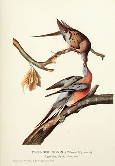 Illustration of the Passenger Pigeon from Birds of America (1827–1838), John James Audubon.