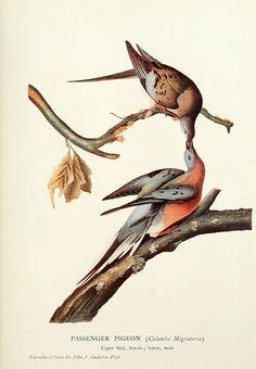 Illustration of the Passenger Pigeon from Birds of America (1827–1838), John James Audubon.