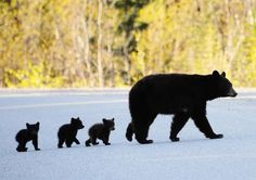 Black bears in Maine; quite elusive and docile, they are a very often misunderstood animal.