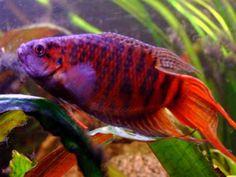 Animaquários: Peixes que não precisam de bomba de oxigenação além do Betta