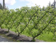 5000plus :: Out with ugly concrete and brick walls, let's decorate our city with espaliered fruit trees