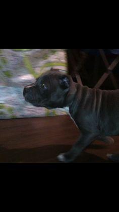 Harley at 9 weeks blue nose pitbull | bully | staffy