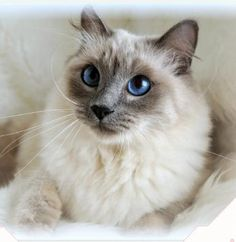 The Balinese is another longhair cat with graceful and muscular look. It has silky long hair and coat. It also has plumed tail, sapphire blue eyes, ...