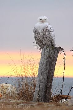 Snowy Owl in New Hampshire by Jim Salge Beautiful Owl, Animals Beautiful, Cute Animals, Baby Animals, Pretty Birds, Love Birds, Photo Animaliere, Owl Photos, Owl Bird