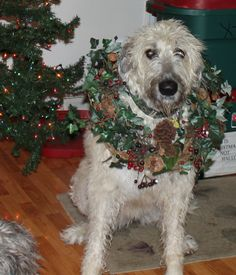 Bodhi Greene, Irish Wolfhound Christmas 2013