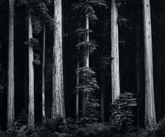 Redwoods, Bull Creek Flat, Northern California photo by Ansel Adams