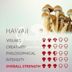 The magic mushrooms Psilocybe Cubensis Hawaiian is another of the world´s biggest strains. Mushroom Grow Kit, Mushroom Tea, Psilocybin Mushroom, Mushroom Varieties, States Of Consciousness, Alternative Medicine, Alternative Health, Grow Bags, Heath And Fitness