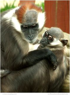 Cherry Crowned Mangabey, a species of primate in the Cercopithecidae family of Old World monkeys