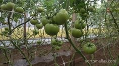 Tomato clips are a tool that help further simplify the work of crop training. Even though at a first glance, it appears that the methods of crop cultivation do not have much influence in the quantity or quality of harvested crops Tomato clips Trellis, Agriculture, Vegetables, Fruit, Strands, Training, Grow Tomatoes, Mesh, Vegetable Recipes