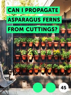 Can I Propagate Asparagus Ferns From Cuttings?. Asparagus fern (Protasparagus densiflorus) is not a real fern, but an evergreen, perennial member of the lily family. Also referred to as emerald fern and foxtail fern, the plant is a native of South Africa. Asparagus fern is widely used as an ornamental plant for containers and as a groundcover. The...