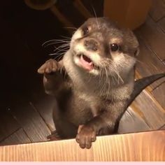 My goodness, I never knew otters were so damn loud. / We all know someone who can't handle being hungry. Cute Funny Animals, Funny Animal Pictures, Cute Baby Animals, Animals And Pets, Otters Funny, Otters Cute, Baby Otters, Wild Animals, Funny Dogs