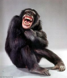 Last week, a revolutionary decision was made in a U.S. court: chimpanzees were acknowledged to have rights of their own. Above Kenuzy, a chimpanzee from Los Angeles, appears to laugh