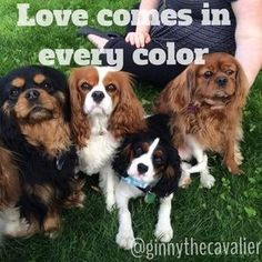 Cavalier King Charles Spaniels Left to Right - Black & Tan, Blenheim, Tri-Color, Ruby.