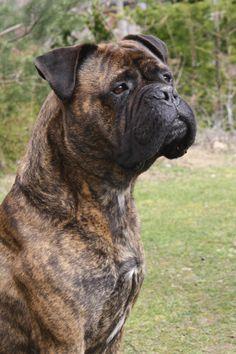 english bull mastiff | Bull mastiff - .google.fr/imgres?hl=fr