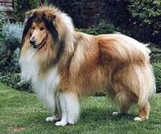 Collie-online: Pedigree database - Delbar Drillmaster