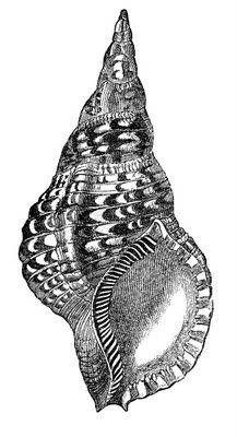 Natural History Clip Art - Seashells - The Graphics Fairy