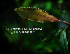 "Bucephalandra ""ulysses"""