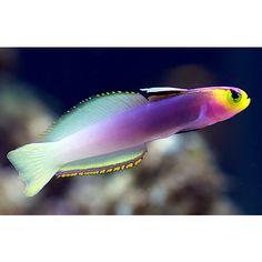 Helfrichi's Firefish ILHAS MARSHALL (Nemateleotris helfrichi)