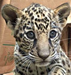 Jaguar Cub at the Tulsa Zoo, Tulsa Oklahoma USA. Jaguars' predatory prowess is well known.  These big cats have extremely powerful jaws, and typically kill their prey by biting through the skull into the brain