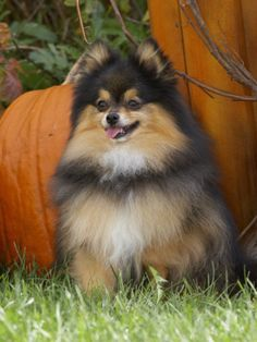 Tri-color Pomeranian Photographic Print by Cheryl Ertelt at AllPosters.com