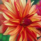 An unusual orchid-flowered dahlia