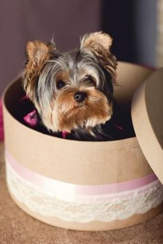 The sweetest yorkie ~hat box surprise! Yorshire Terrier, Silky Terrier, Biewer Yorkie, Yorkie Puppy, Cute Puppies, Cute Dogs, Yorky, Cutest Dog Ever, Cute Animals