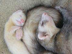 Little ferret, big ferret.