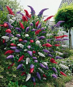 Buddleia (Butterfly Bush). Buddleia are wonderful woody shrubs with large, fragrant, colorful flowers that attract a flutter of butterflies into your summer garden.