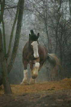 Stunning Clydesdale (or Shire) horse! All The Pretty Horses, Beautiful Horses, Animals Beautiful, Cute Animals, Big Horses, Work Horses, Horse Love, Black Horses, Shire Horse